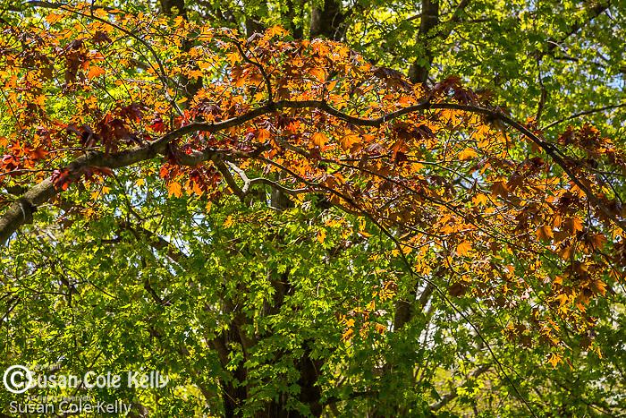 Spring colors at Mount Auburn Cemetery, Cambridge, Massachusetts, USA