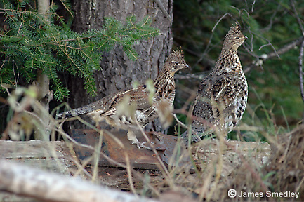 Ruffed grouse pair