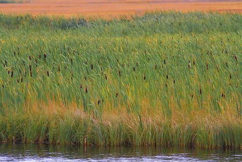 Cattails along a pond near Grand Teton National Park, Wyoming