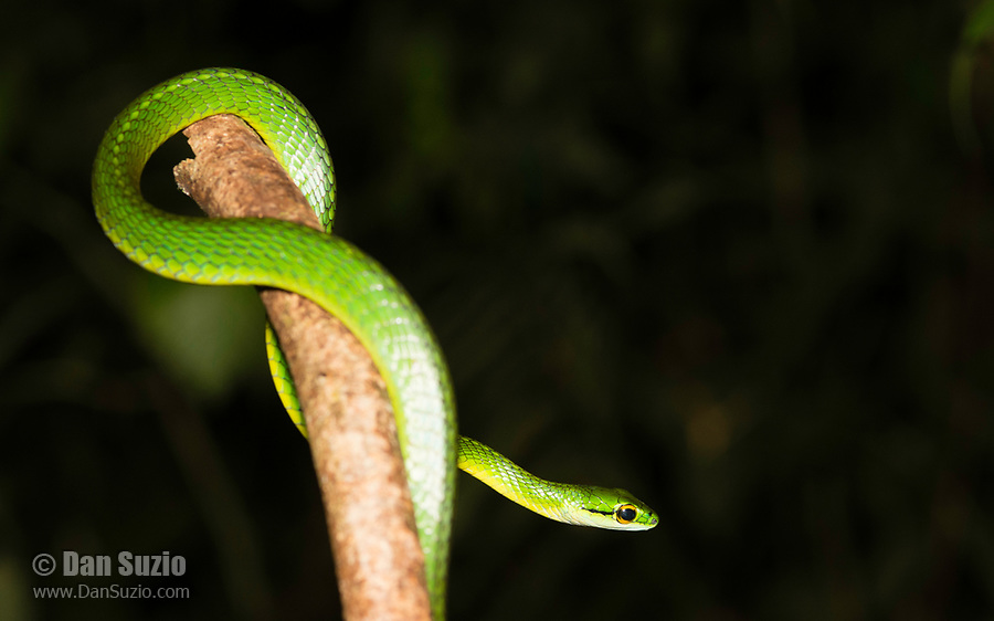 Cope's Parrot Snake, Leptophis depressirostris, at Tirimbina Biological Reserve, Costa Rica