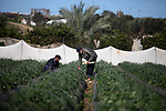 Palestinian farmers harvest strawberries at a farm in Beit Lahia, in the northern Gaza Strip, on January 30, 2019. Photo by Mahmoud Ajjour