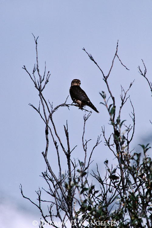 Merlin perched on a tree branch.