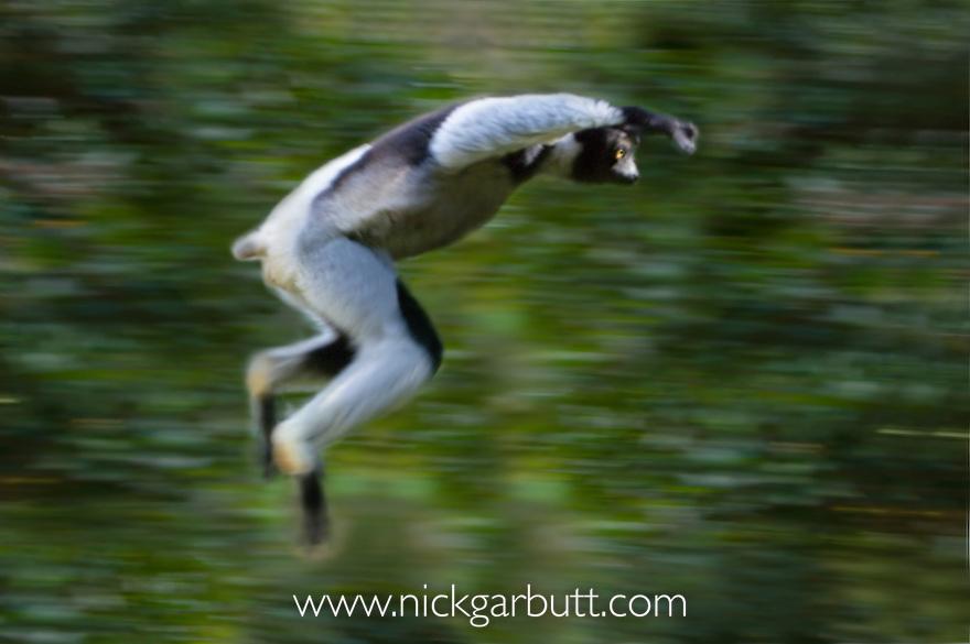 Indri (Indri indri) (Endangered) leaping through rainforest canopy. Andasibe-Mantadia NP, east Madagascar. IUCN: Endangered.