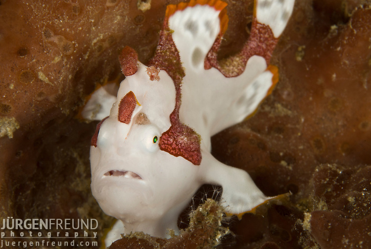 Warty frogfish or clown frogfish  (Antennarius maculatus)