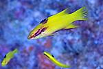 Bodianus pulchellus, Spotfin hogfish, juvenile, Florida Keys