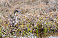 Northern pintail duck stands in the tundra next to a pond in the Arctic North Slope of Alaska.