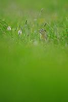Spotted Souslik (Spermophilus suslicus), Werbkowice-Zamosc, Sunsilks,<br /> Poland<br /> Sciuridae family<br /> Rodent
