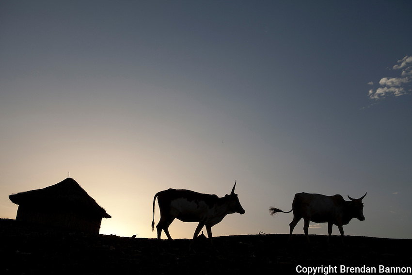 Cows  return home in the evening  after a day at pasture near the Sobat river in Nasir, South Sudan.