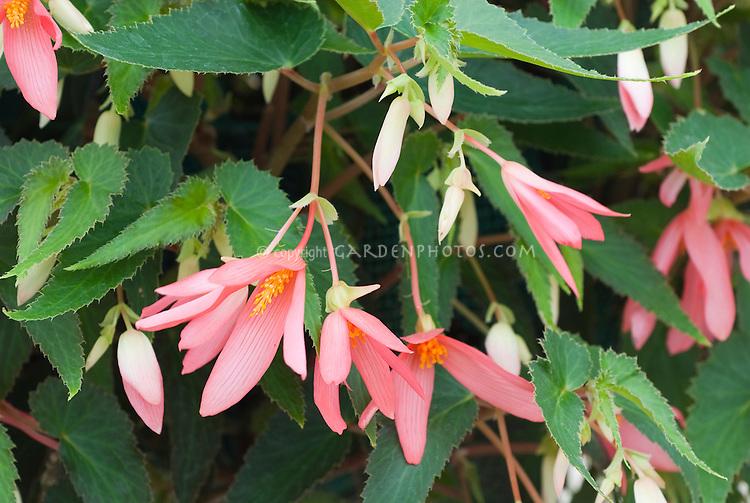 Begonia (Million Kisses) 'Allure'