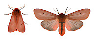 72.024 (2064)<br /> Ruby Tiger - Phragmatobia fuliginosa