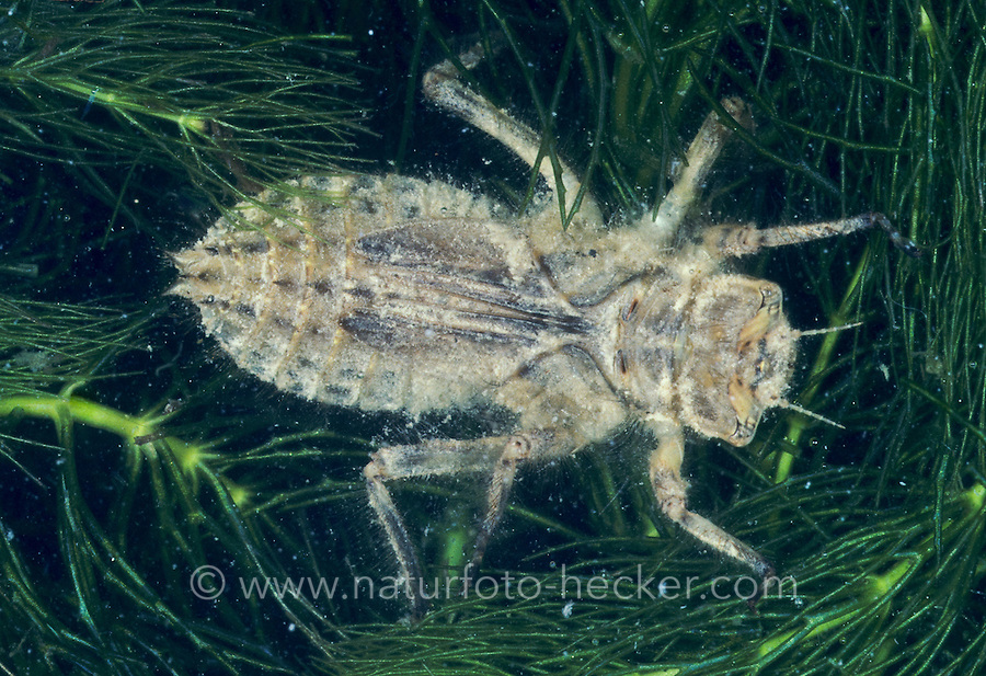 Plattbauch,  Larve im Wasser, Nymphe, Plattbauch-Libelle, Plattbauchlibelle, Libellula depressa, Broad-bodied Chaser, Broadbodied Chaser, broad bodied chaser