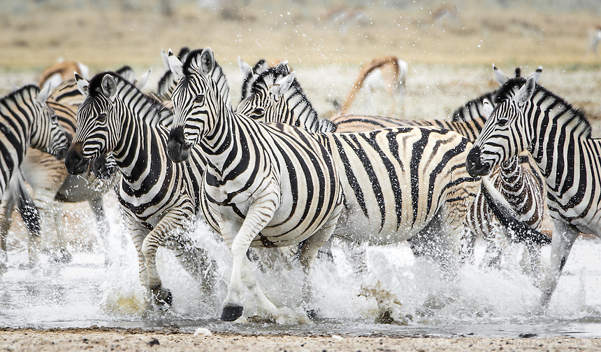 This zebra herd was drinking peacefully from a water hole, then, in an instant, they were spooked and charged away.
