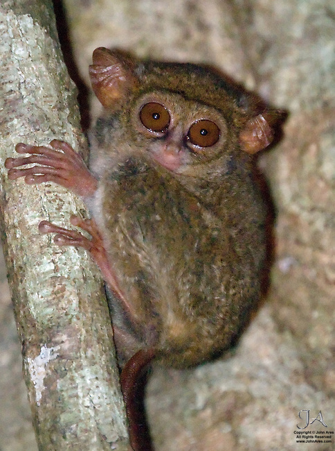 """Tarsier on tree at dusk in Tangkoko Park, Sulawesi Indonesia. """"Deer in the headlights"""" stare.  The Spectral Tarsier has the largest eye to body size ratio of all of the mammals, Tarsiers are also the smallest of the primates"""
