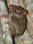 "Tarsier on tree at dusk in Tangkoko Park, Sulawesi Indonesia. ""Deer in the headlights"" stare.  The Spectral Tarsier has the largest eye to body size ratio of all of the mammals, Tarsiers are also the smallest of the primates"