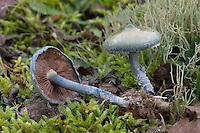 Grünblauer Träuschling, Blauer Träuschling, Braunsporiger Träuschling, Stropharia caerulea, Stropharia cyanea, Blue Roundhead
