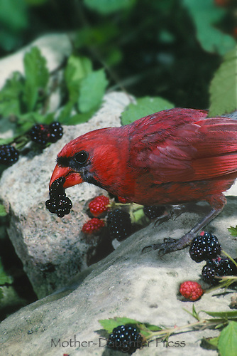 Male Northern Cardinal, Cardinal cardinalis, eating ripe wild blackberries