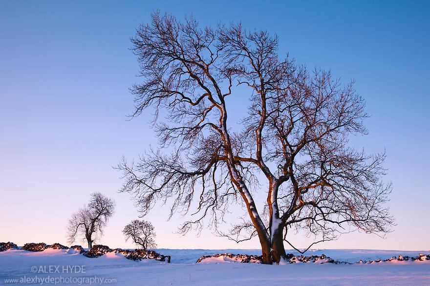 Ash trees in winter {Fraxinus excelsior} near Bonsall village, Peak District National Park, Derbyshire, UK. December.