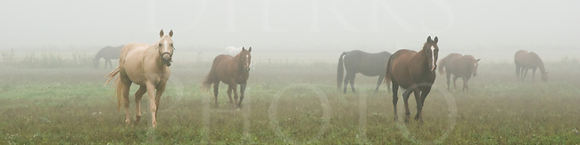 Horses walking through fog in a 4:1 panoramic.