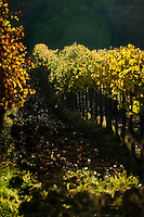 Palazzone vineyards situated in the undulating hills near Orvieto, Umbria, Italy Giovanni Dubini, wine producer at Palazzone vineyards, near Orvieto, Umbria, Italy