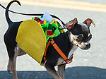 WINSTED,  CT-051819JS13- Dressed up as a taco, Penny, a one-year-old Chihuahua, owned by Heather Allen of Bristol, walks in the 83rd annual Rotary Club Pet Parade along Main Street in Winsted on Saturday. <br /> Jim Shannon Republican American