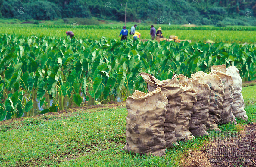 Kalo (taro) loi with bags of harvested plants in the foreground and workers in the background, Haraguchi Farm, Hanalei
