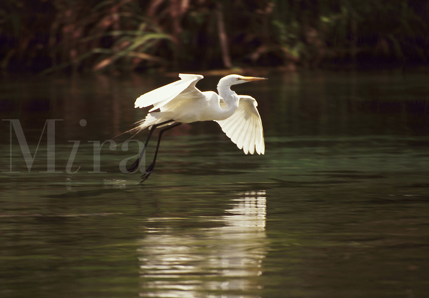 An egret gliding over water in preparation for a landing.