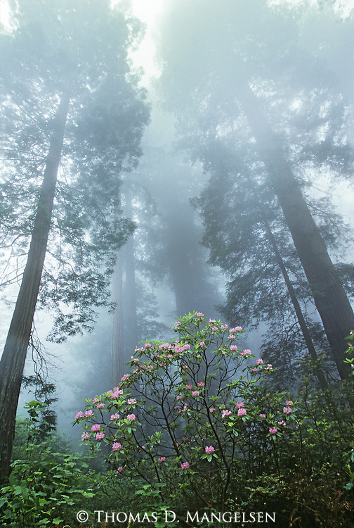 Rhododendron blooms among Redwoods in Redwood National Park, California.