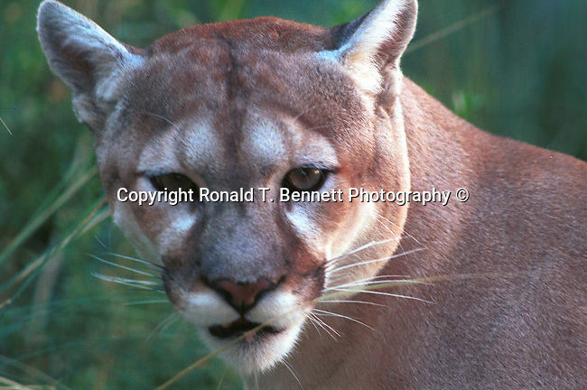 Cougar, Mountain lion, Mt. Lion, Puma concolor, puma, pantther, felime, felinae, pantherinae, Americas, solitary cat, Western Hemisphere, predator, Puma concolor, big cat, generalist predator, ambush predator,   Fine Art Photography, Ronald T. Bennett (c) cat, disambiguation, felis catus, hunt vermin, growling, hissing, puring, chirping, clicking, Felis silvestris lybica, felidae, felinae, felis, Fine Art Photography by Ron Bennett, Fine Art, Fine Art photography, Art Photography, Copyright RonBennettPhotography.com ©