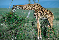African, wild animal. Giraffe browses on acacia thorn bush, Masai Mara, Kenya. Samburu, Kenya Samburu National Park.