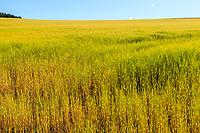 Scottland, landscape,malt field