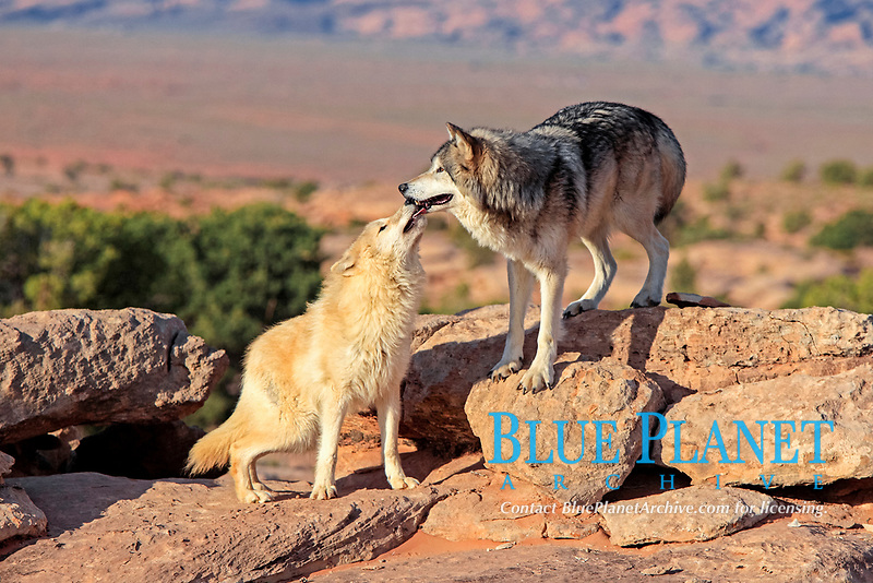 Wolves (Canis lupus), adult, Monument Valley, Utah, USA, North America