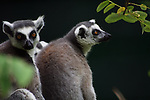 PERTH - 4 April 2010 - Two ring-tailed lemurs at the Perth Zoo. Endemic to southern and southwestern Madagascar, it is the most recognized lemur due to its long, black and white ringed tail..Picture: Giordano Stolley