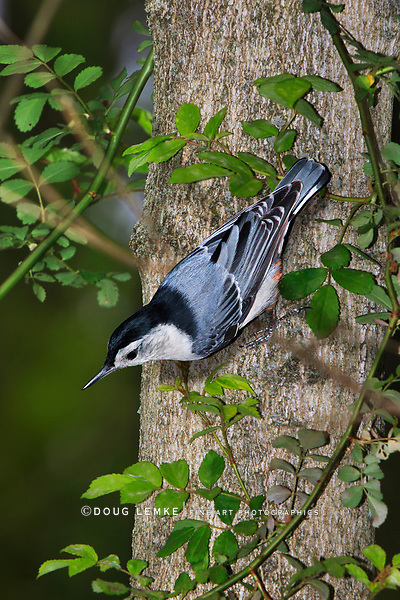 A Very Cute And Tiny Bird, The White Breasted Nuthatch In A Typical Pose, Sitta carolinensis, Southwestern Ohio, USA