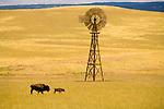 Grazing bison, solid wooden windmills, clouds, golden hills, Zion Mountain, Utah. (Fairbanks-Morse Eclipse)