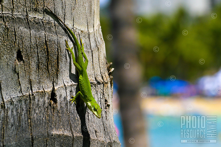 A green Gecko clings to the side of a palm tree.