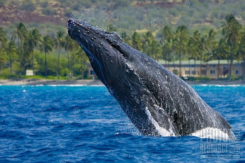Humpback whale (Megaptera novaeangliae) head-lunging near Hawai'i