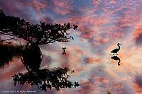 Great Blue Heron and Red mangrove silhouetted at sunset, Merritt National Wildlife Refuge, Florida, Rhizophora mangle, Ardea herodias