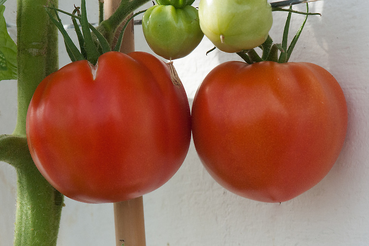 Tomato 'Big Daddy', glasshouse, late September. A very large beefsteak tomato bred from the renowned gardeners' favourite, Tomato 'Big Boy'. Individual fruits can weigh up to 425g (15oz).