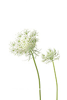 30099-00613 Queen Anne's Lace (Daucus carota) (high key white background) Marion Co. IL