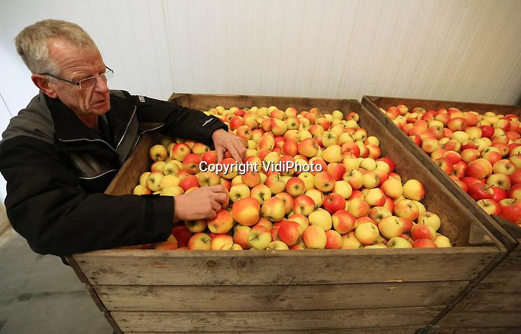 Foto: VidiPhoto..RESSEN - Fruitteler Nico van Olst uit Ressen inspecteert de kwaliteit van zijn Pinova appels. Tot zijn grote verbazing is de verkoop van deze zoete appel een enorme hit. In eerste instantie had Van Olst de Pinova aangeplant voor de allochtone klanten van zijn landwinkel die van zoet houden, maar ook andere bezoekers geven steeds vaker de voorkeur aan de smaakvolle handappel. Voordeel van Pinova is dat dit ras langer hard blijft dan bijvoorbeeld Elstar. Van de acht appelsmaken die Van Olst teelt, staat Pinova nu op de tweede plaats in de verkoop. Bovendien heeft de Betuwse teler van deze appel een goede oogst achter de rug, in tegenstelling tot Elstar en Jonagold. Daardoor staat ruim 40 procent van de koelcellen bij Van Olst leeg..