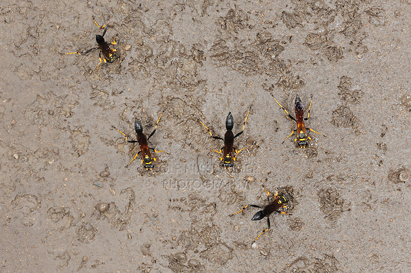Black and yellow Mud Dauber (Sceliphron caementarium), females collecting mud for nest, Comal County, Hill Country, Central Texas, USA