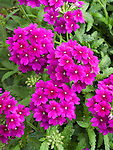 Verbena Lanai Royal Purple