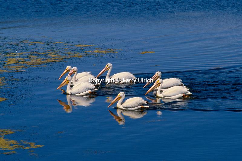 White pelicans on Big Bear Lake<br /> San Bernardino Mountains<br /> San Bernardino National Forest<br /> California
