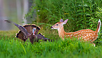 White-tailed fawn testing the limits as she gets too close to a hen turkey.