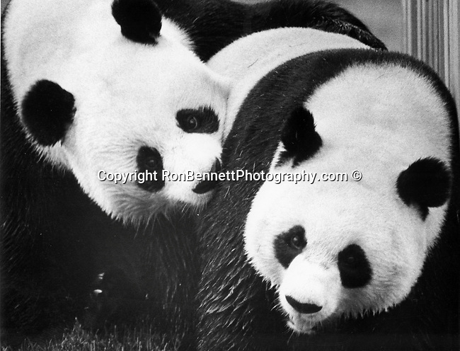 """Giant Panda alluropoda melanoleuca """"black and white cat foot"""" is a mammal clasified in the bear family, native to central western and southwestern China, panda diet which is 99% bamboo along with honey eggs fish and yams, Fine Art Photography by Ron Bennett, Fine Art, Fine Art photography, Art Photography, Copyright RonBennettPhotography.com ©"""