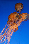 "Monterey Bay Aquarium, Monterey California. The Jelly Fish Tank. I shot these jelly fish photographs without using any flash in the low lighting of the building and no tri-pod.  I know a lot of people have used their point and shoot cameras, IPads and Smart Phones to capture the jelly fish in this tank but the detail in my photographs is incredible and the photographs can be printed as large as 40x60"" without sacrificing the quality.  I attribute most of the quality to my $2100 lens."