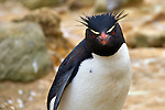 Penguin of the Day - Rockhopper