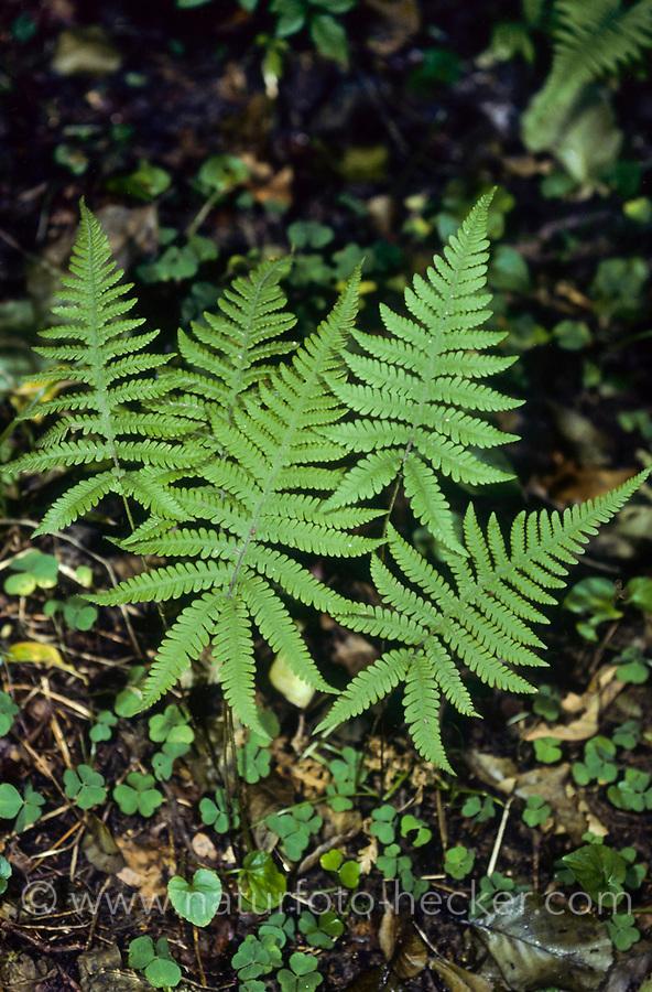 Buchenfarn, Buchen-Farn, Phegopteris connectilis, Thelypteris phegopteris
