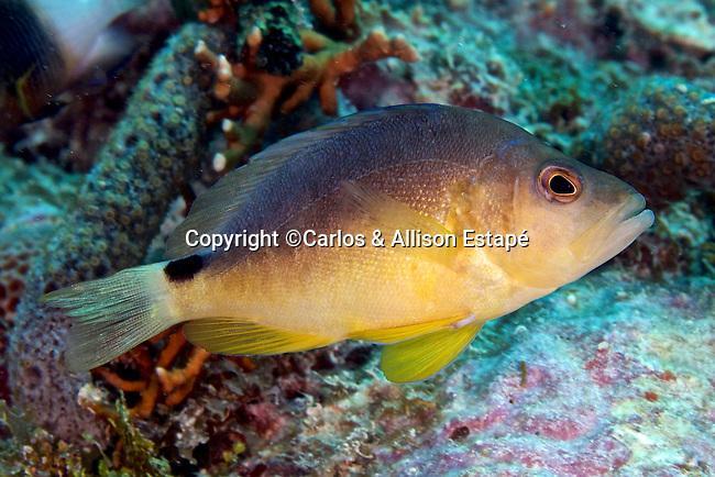 Hypoplectrus aberrans, Yellowbelly hamlet, Florida Keys
