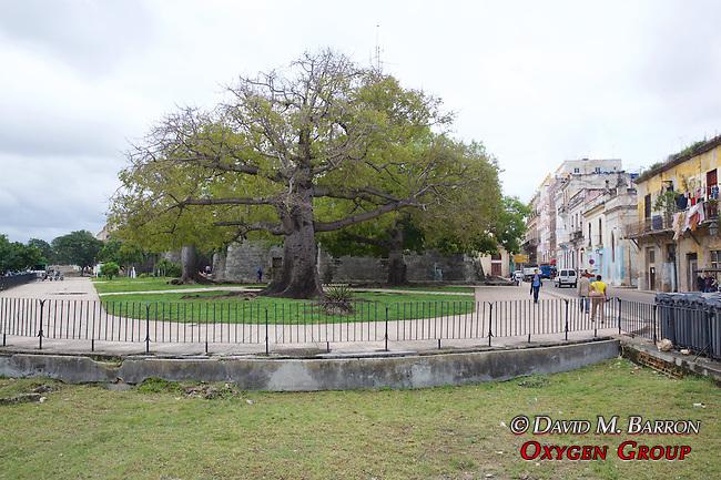 Beautiful Tree In Old Havana